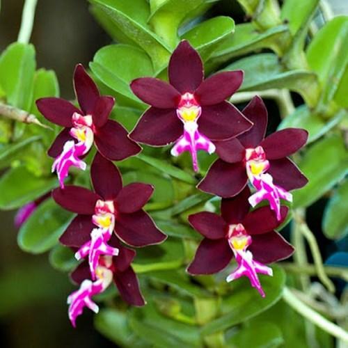 Orchidée Trichoglottis philippinensis