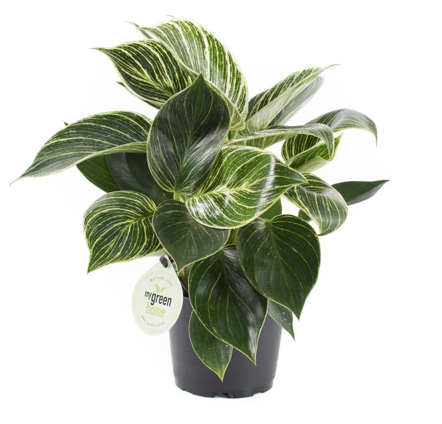 Philodendron birkin white measure 1