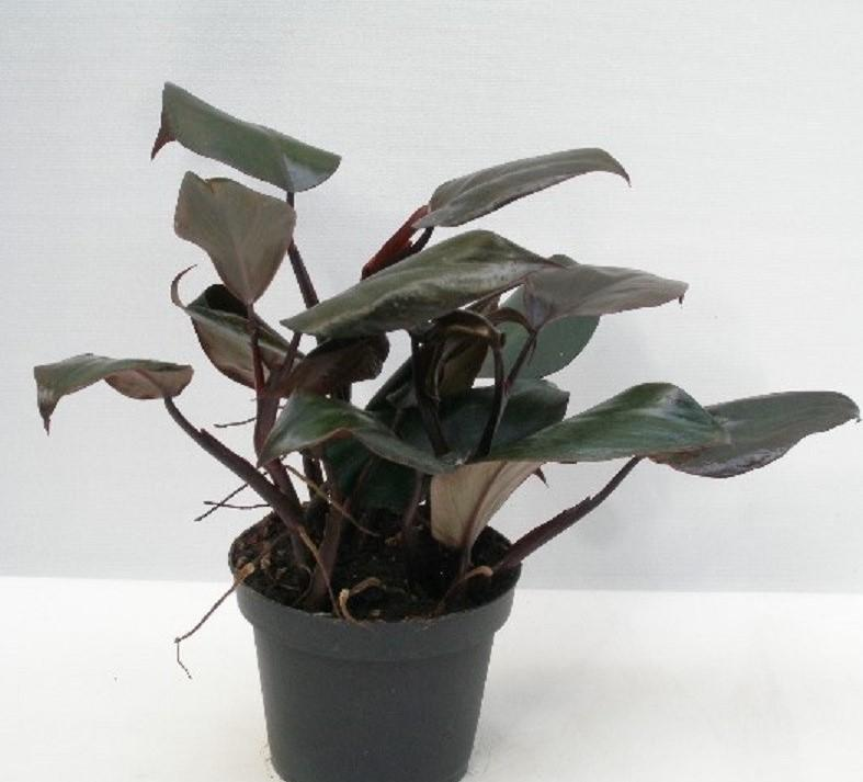 Philodendron erubescens new red 1
