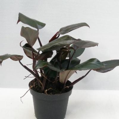 Philodendron erubescens 'New Red'