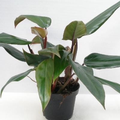 Philodendron 'Ruby'