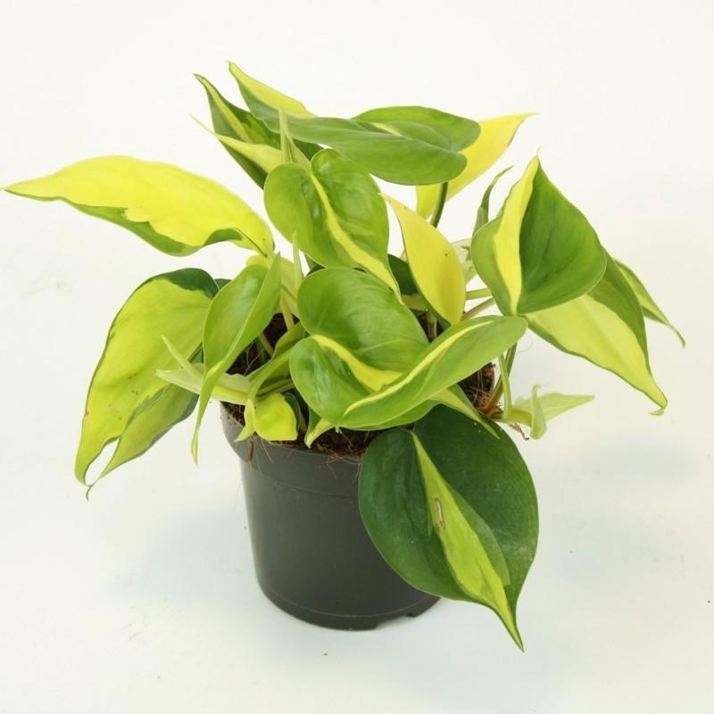 Philodendron scandens brasil 1