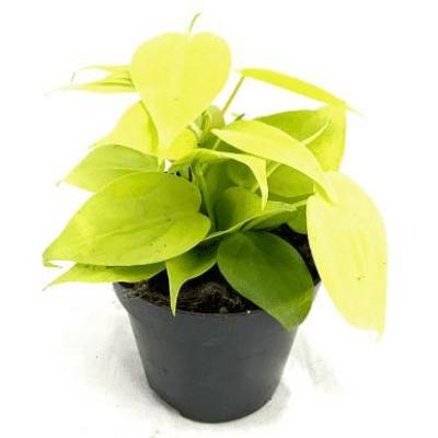 Philodendron scandens micans 'Lime'