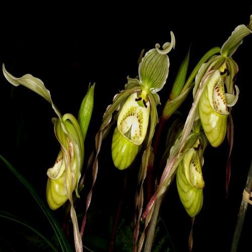 Orchidee Phragmipedium pearcei