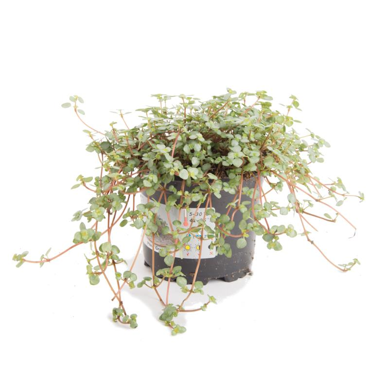 Pilea nummulariifolia a vendre
