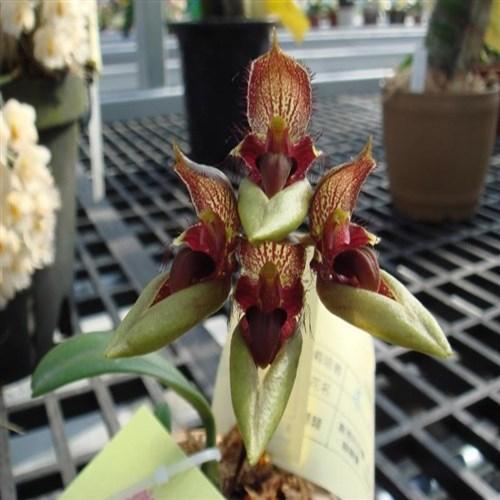 Orquídea Bulbophyllum pingtungensis