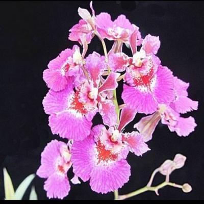 Orchidee Tolumnia Jairak Flyer Pinku