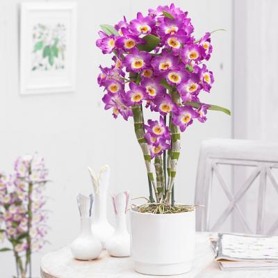 Orchidea Dendrobium Nobile Akatsuki rose