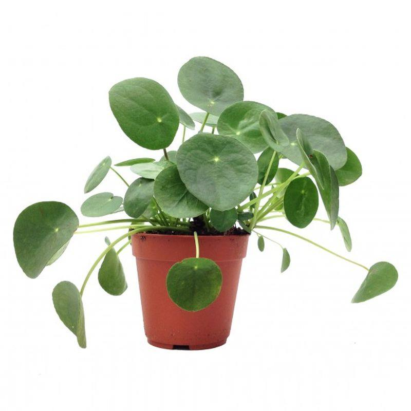 pilea peperomioides vendre. Black Bedroom Furniture Sets. Home Design Ideas