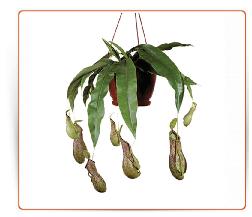 Plante carnivore a vendre