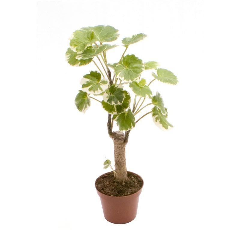 Plante verte a vendre livraison polyscias balfouriana