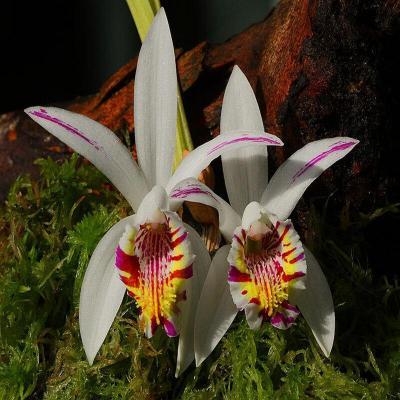 Orchidée Pleione maculata