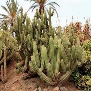 Polaskia chichipe vente achat cactus
