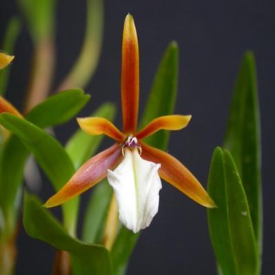 Orchidée Encyclia polybulbon