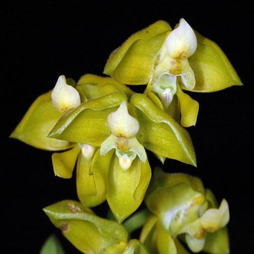 Orchidea Polystachya zambesiaca