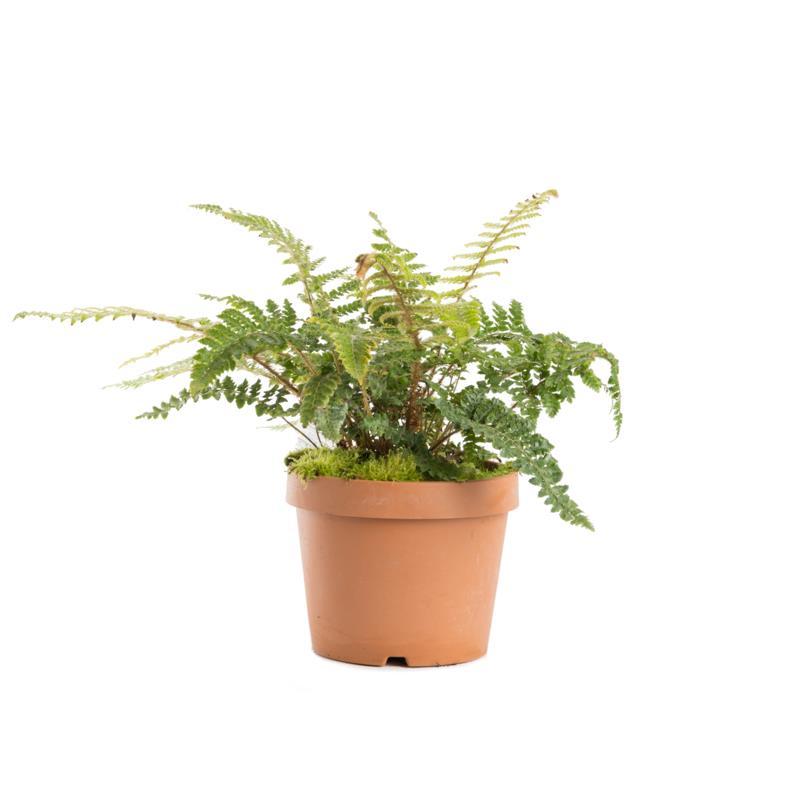 Polystichum polyblepharum d18 a vendre