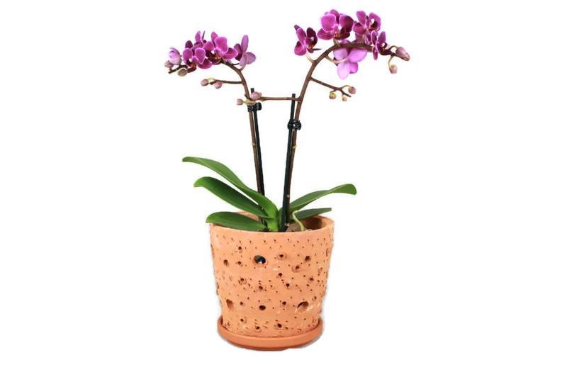 Pot orchid