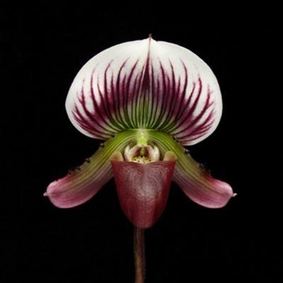 Orchid Paphiopedilum potentianum