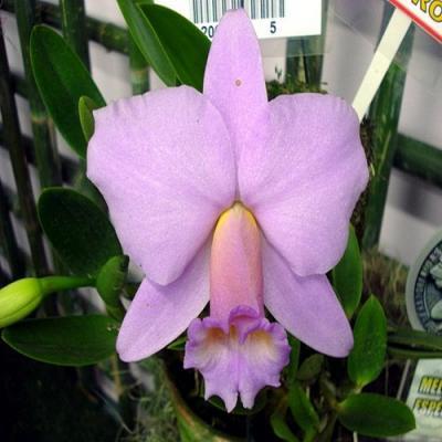 Orchidée Laelia praestan