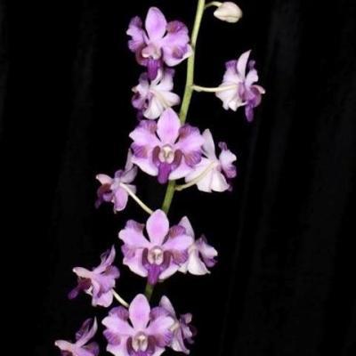 Orchidée Phalaenopsis  pulcherrima var. coerulea