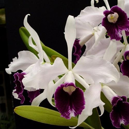 Orhidee Laelia purpurata var. schusteriana