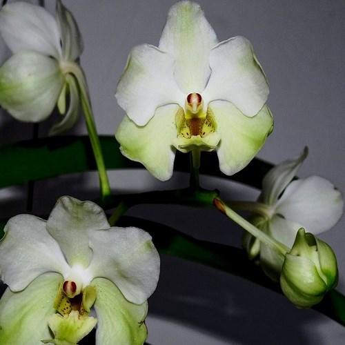 Orquídea Vanda Rasri Gold x javieri