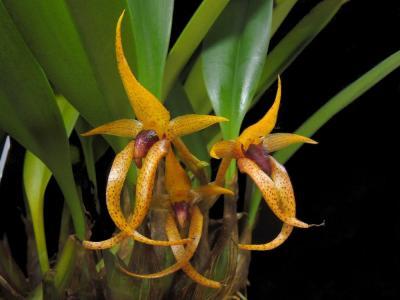 Orchidée Bulbophyllum recurvilabre
