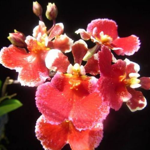 Red crystal orchidee tolumnia