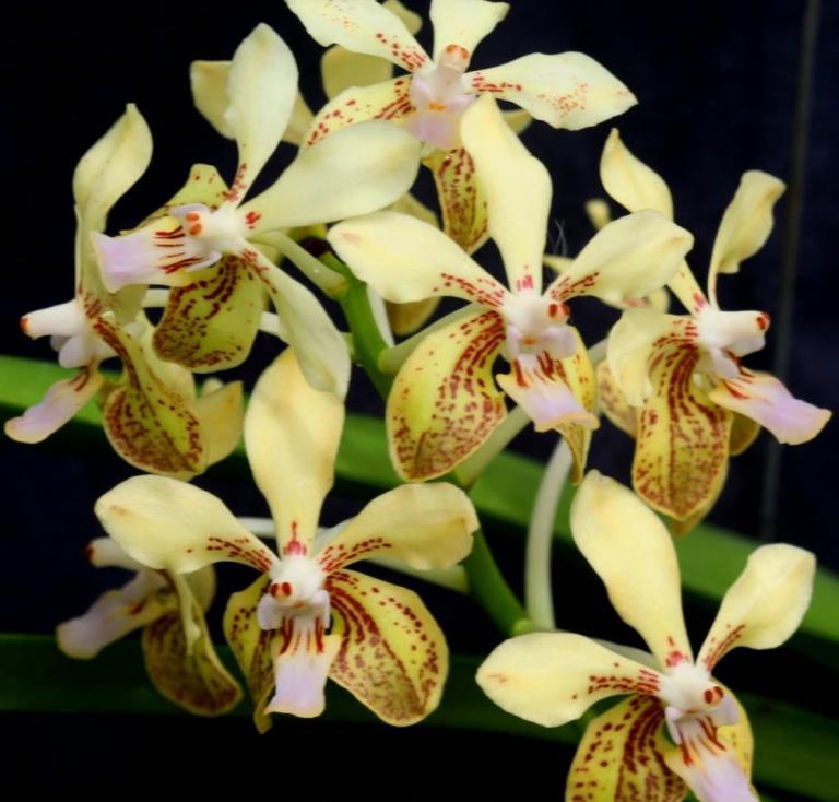 Orquídea Vanda lamellata var remediosae