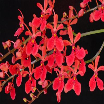 Orchidée Renanthera Akihito  X Storiei