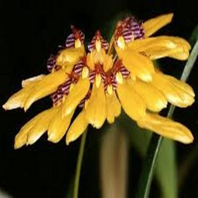 Orchid Bulbophyllum retusiusculum