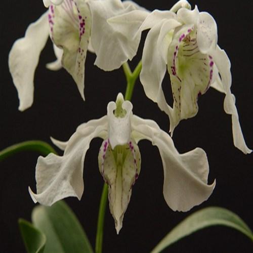 Orchidea Dendrobium rhodostictum