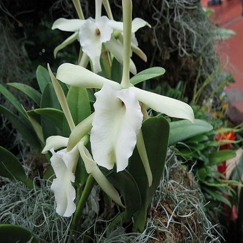 Orquídea Rhyncholaelia glauca