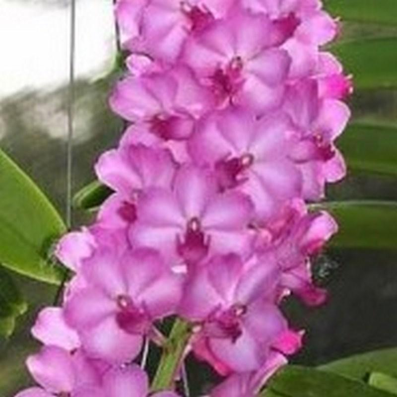 Rhynchorides bangkok sunset pink