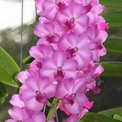 Orquídea Rhynchorides Bangkok Sunset pink