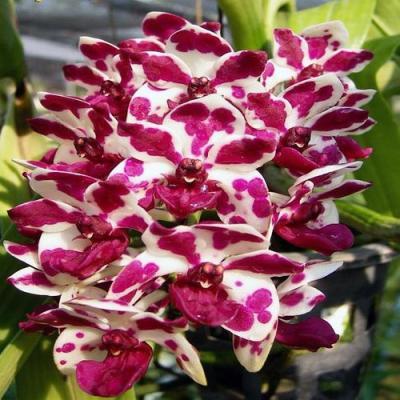 Orchid Rhynchostylis gigantea red spot