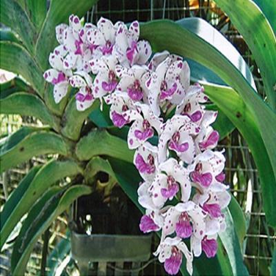 Orchid Rhynchostylis gigantea spot