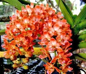 Orchidée Rhynchostylis gigantea orange