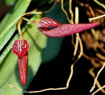 Orchidée Bulbophyllum mirum