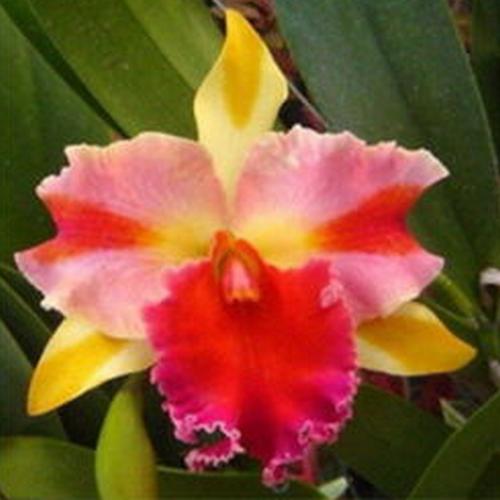 Orquídea Cattleya  rlc amazing thailand
