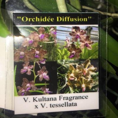 Orhidee Vanda kultana fragrance X V. tessellata