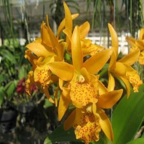 Orchid Cattleya Lc Jairak Starburst