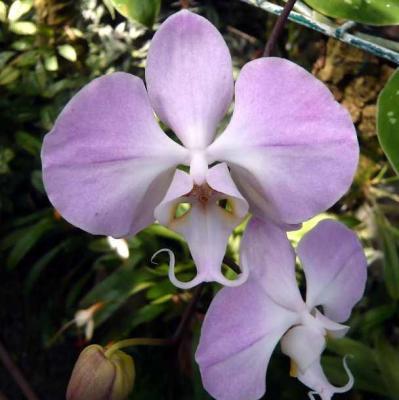 Orchidée Phalaenopsis sanderiana