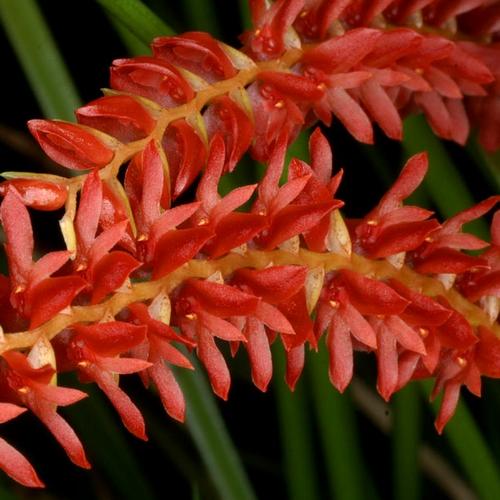 Orchidee Dendrochilum wenzelii red