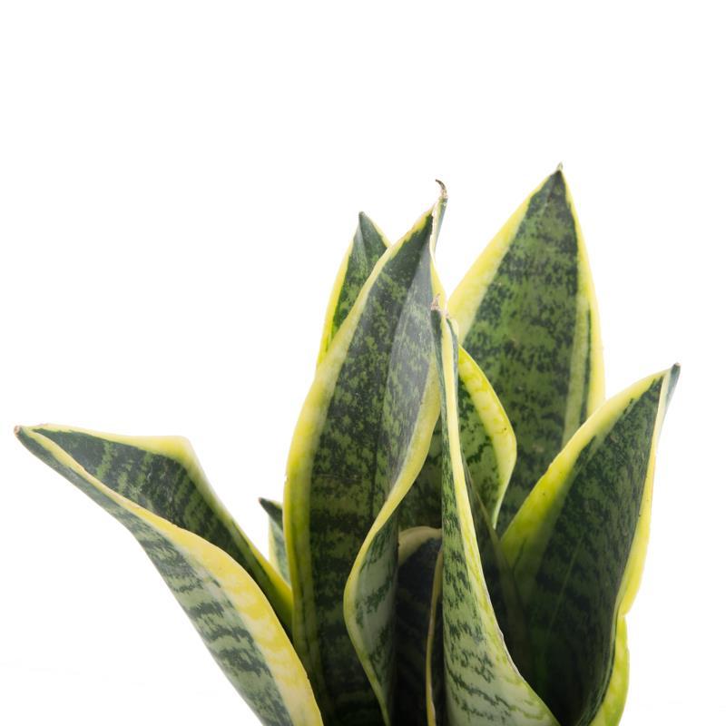 Sansevieria trifasciata futura superba vente plante