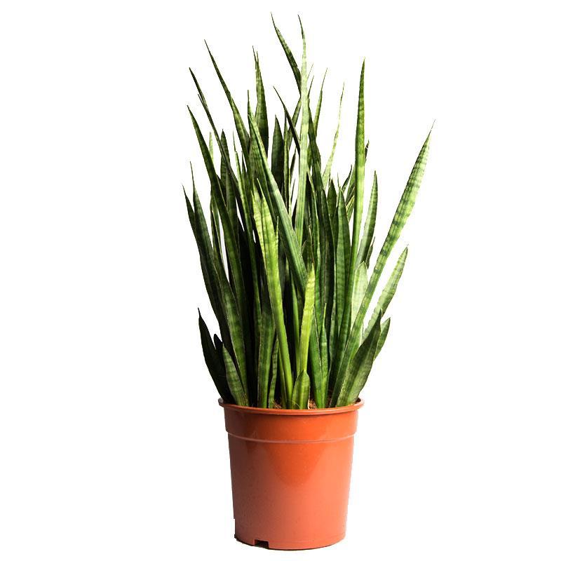 Sansevieria zeylanica livraison plante