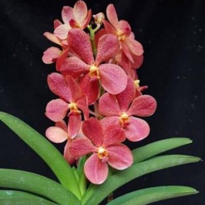 Orchidée Mokara  Sayan x Dr Anek