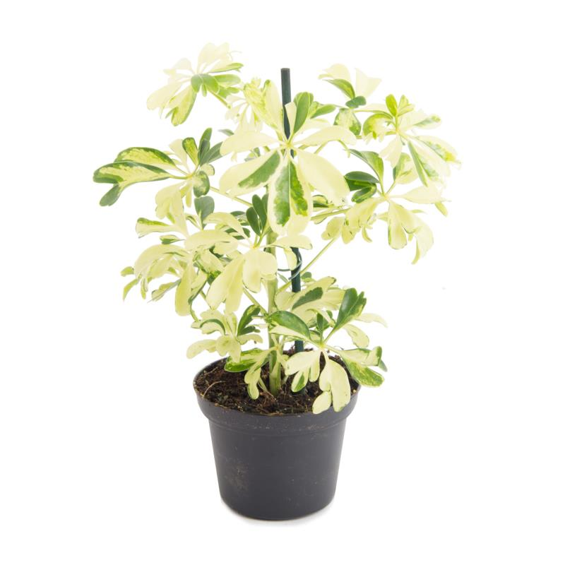 Schefflera arboricola janine mini plante vente livraison