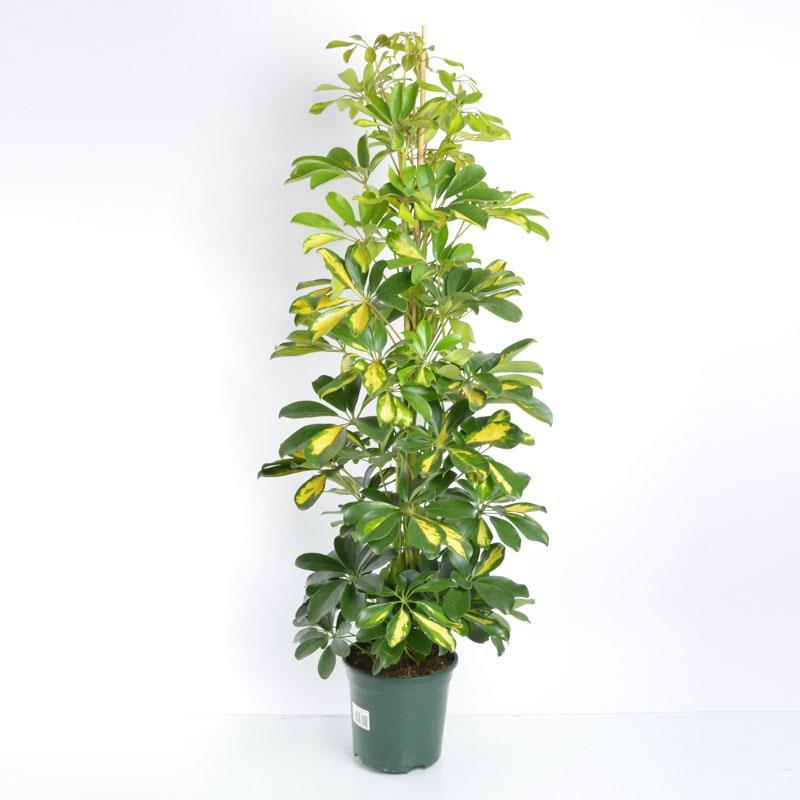 Schefflera hybride a vendre