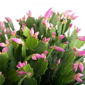 Schlumbergera cactus de noel